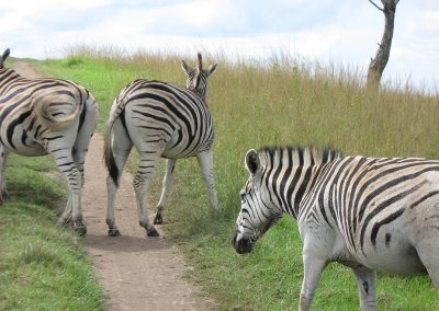 south_africa_zebra